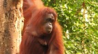 Semengoh Orangutan S..